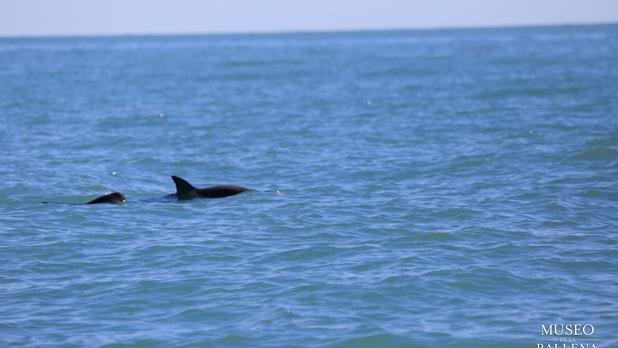 Vaquita marina