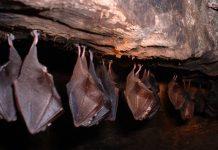 Buscan preservar murciélagos en Nuevo León