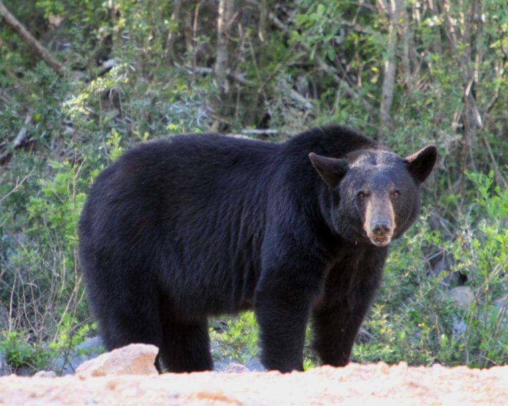 oso-negro-nuevo-leon-san-pedro