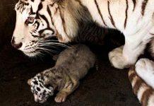 tigres-zoologico-la-pastora