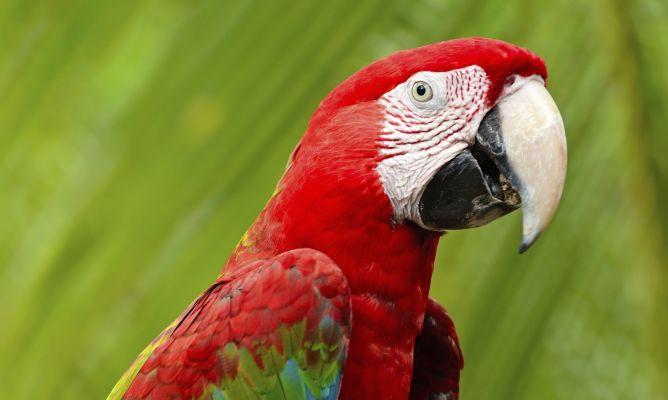 guacamaya -roja