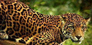 jaguar_mexico-primer-lugar-mundial-especies-peligro-extincion