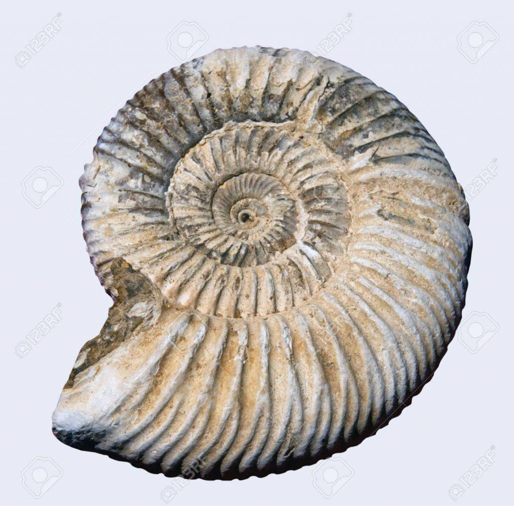 Fosil de amonite