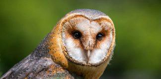 lechuzas-aves-nuevo-leon-monterrey