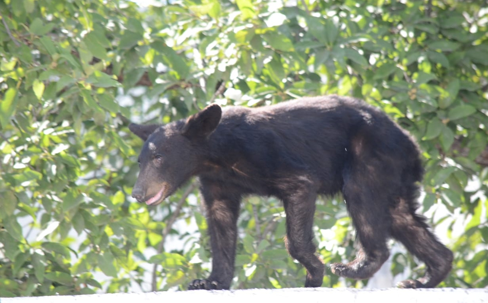 oso-monterrey-santa-catarina