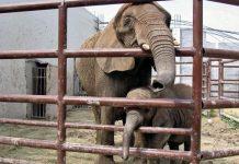 pancha-elefanta-colmillos-la-pastora