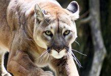 puma-pumas-nuevo-leon-caceria-extincion