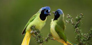 estanzuela-monterrey-aves