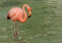 flamenco-flamingo-la-pastora-monterrey