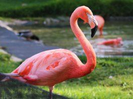 flamingo-flamenco-rosado-pastora-zoologico-nuevo-leon