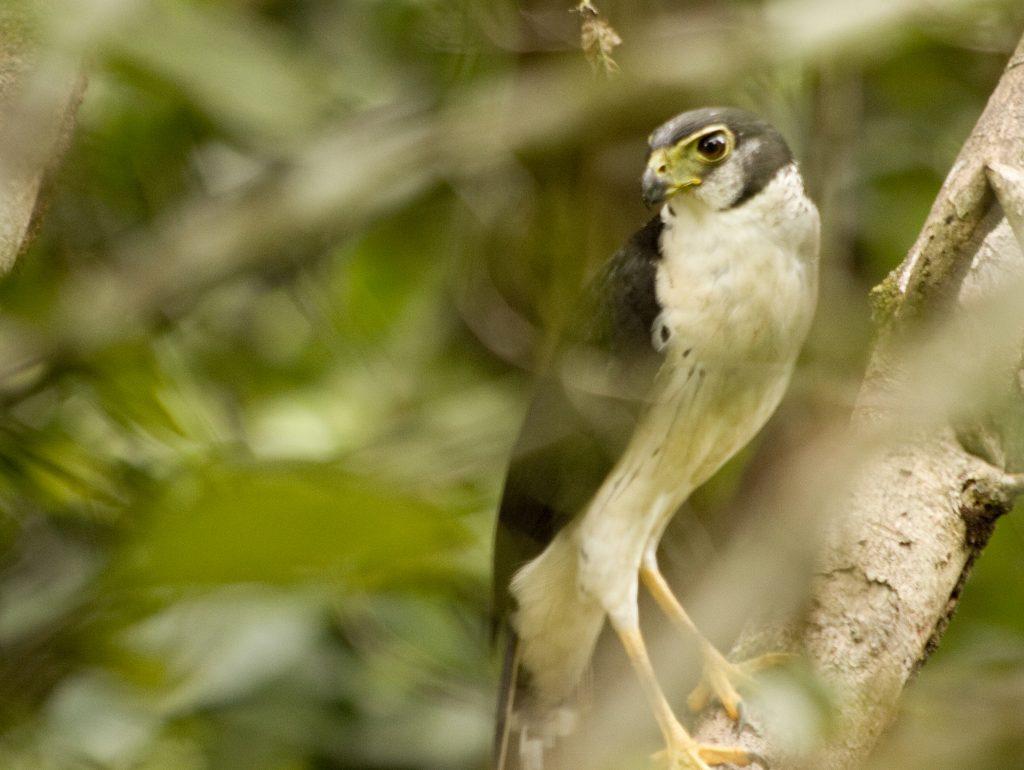 halcon-selvatico-de-collar-estanzuela