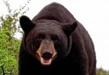 oso-monterrey-mederos