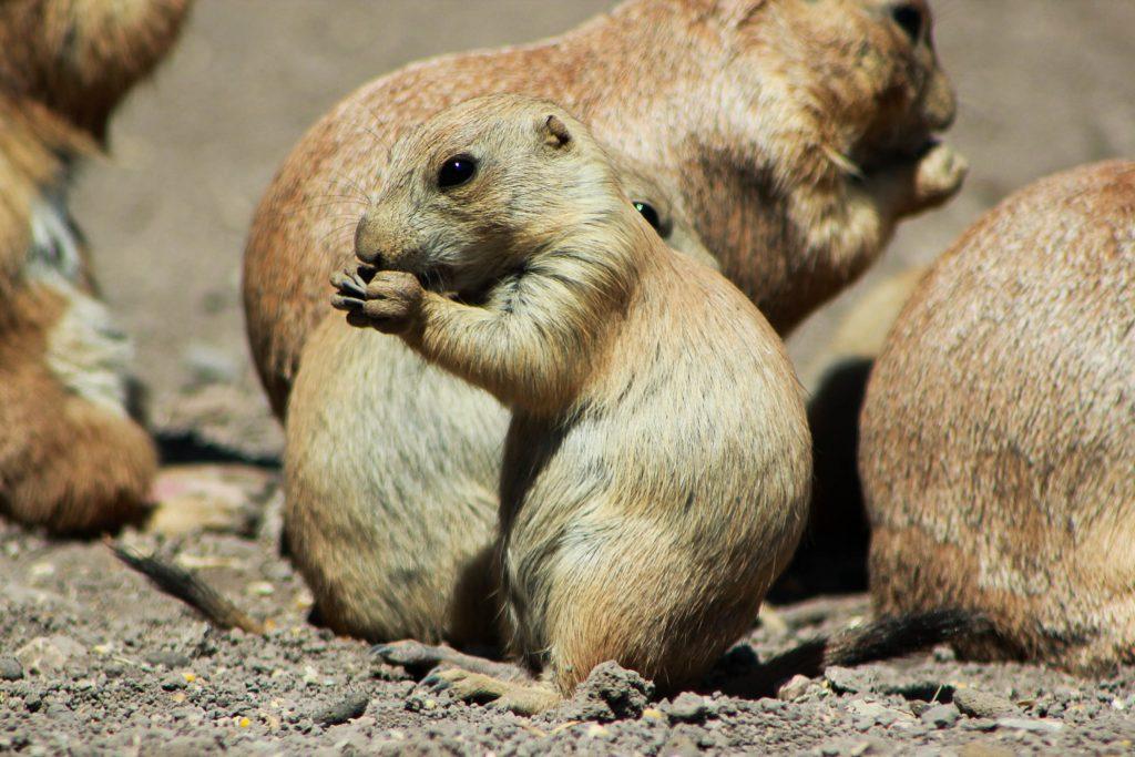 perrito de la pradera-1