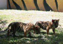 tigres-la-pastora-zoologico