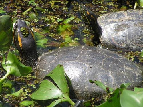 tortuga de guadalupe