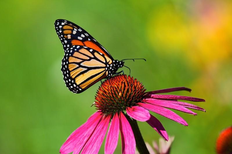 mariposa-monarca-2