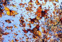 mariposa-monarca-nuevo-leon