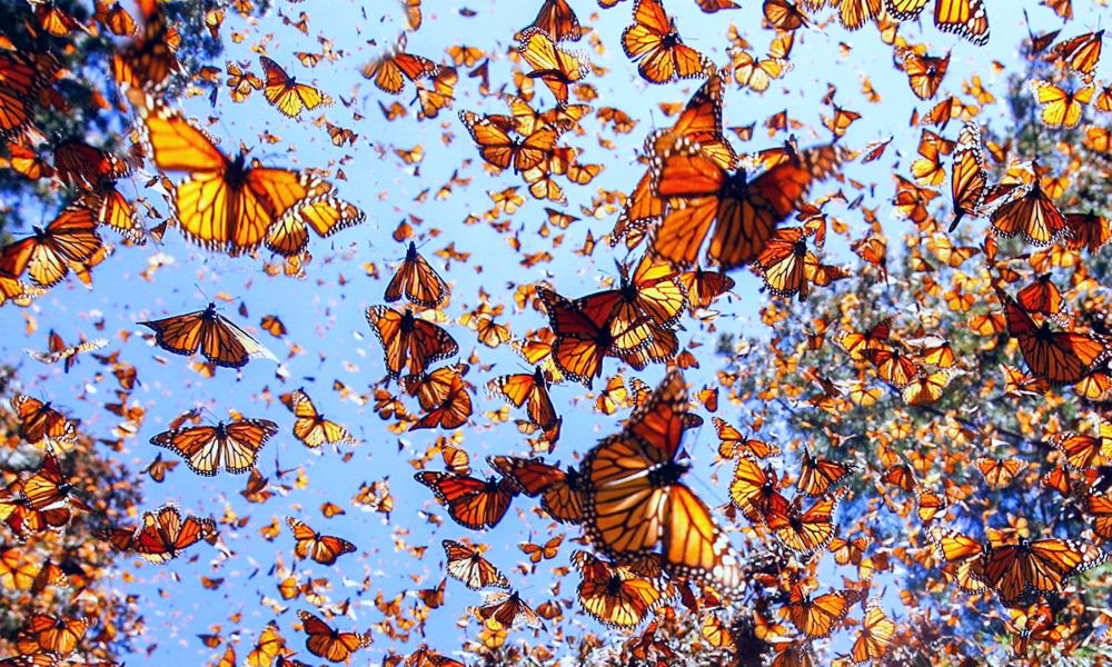 Llegan las mariposas monarca a Nuevo León