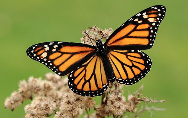mariposa-monarca