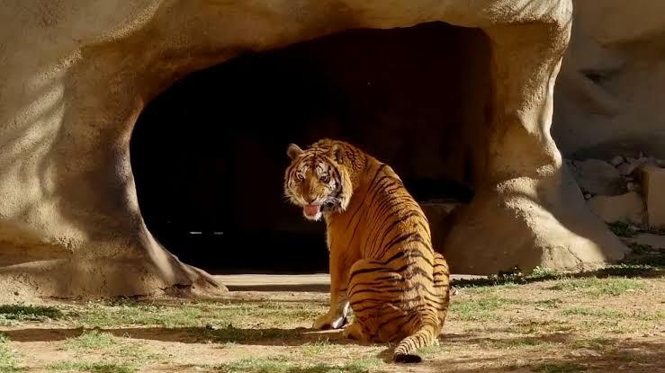 tigre-la-pastora