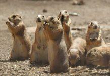 Denuncian ecocidio de perritos de la pradera en Galeana