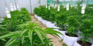 cannabis-marihuana-senado
