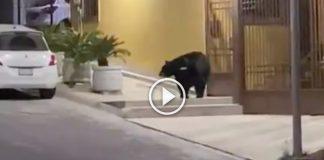 oso-monterrey-cumbres-video