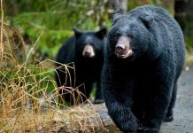 oso-osos-nuevo-leon-avistamientos-nuevo-leon-monterrey-san-Pedro