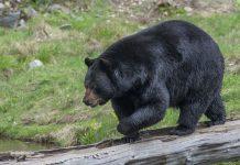 Proponen reglamento para aprender a convivir con osos