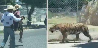 (Video) Tigre se pasea por la calles de Guadalajara
