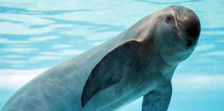 ¡Alerta! Población de vaquita marina sigue disminuyendo en México