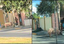"""El """"cerdo-tigre"""", toda una personalidad en Linares"""
