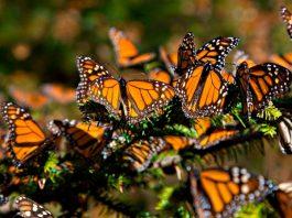 UANL lanza llamado para cuidar las mariposas monarcas