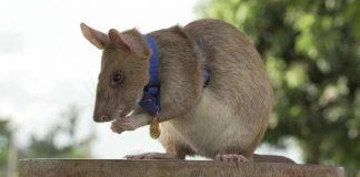 Premian con medalla a rata detectora de minas