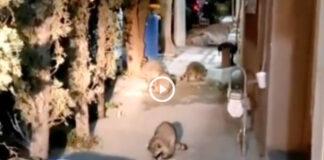 mapaches juarez